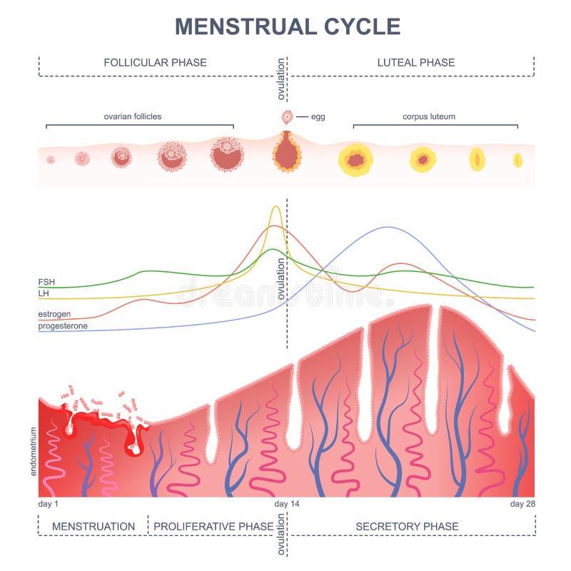 Entwurf des Menstruationszyklus vektor abbildung