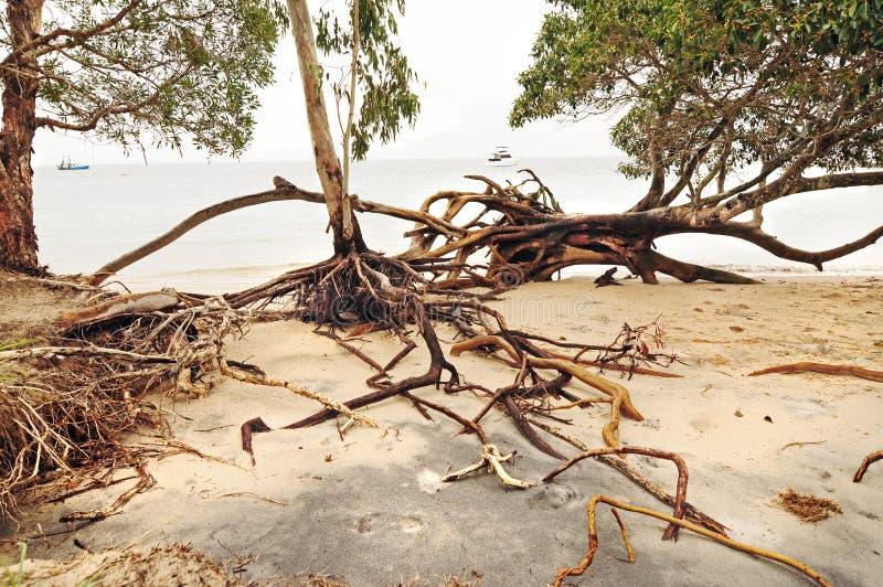 Entwurzelte Bäume und Strandabnutzung nach tropischem Wirbelsturm schlägt Insel lizenzfreie stockbilder