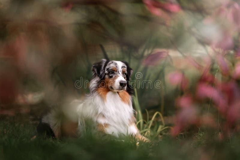 Entzückende australische Schäferhundeaufstellung stockfotos