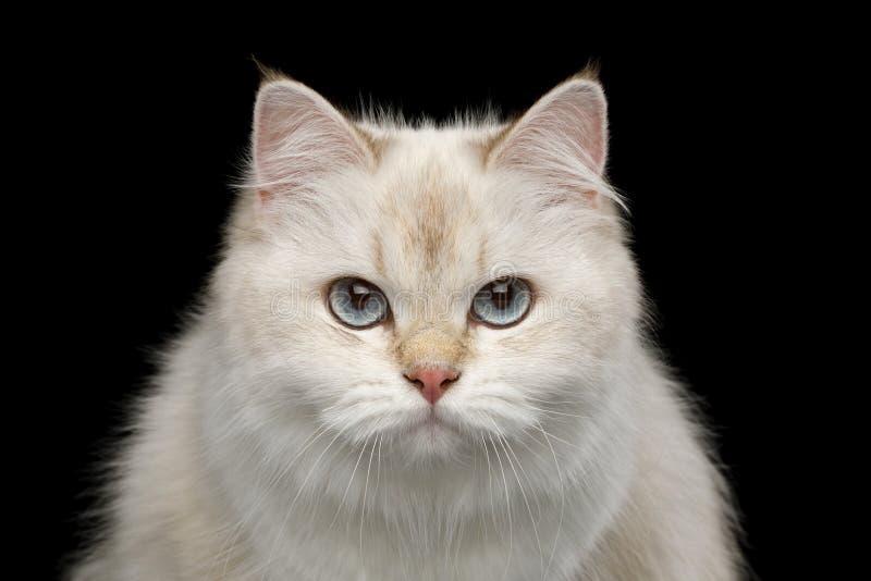Entzückende britische Katze mit blauen Augen auf lokalisiertem schwarzem Hintergrund stockbild
