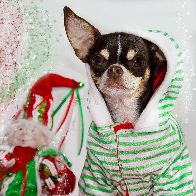 Entzückende Chihuahua stockfotos