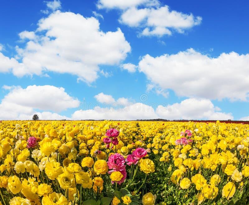 Entzückende gelbe Gartenbutterblumeen stockbilder