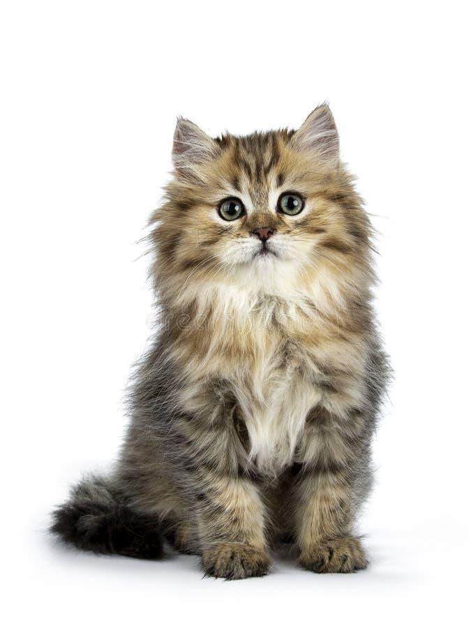 Entzückende goldene britische langhaarige Katze lokalisiert auf weißem Hintergrund stockfotos