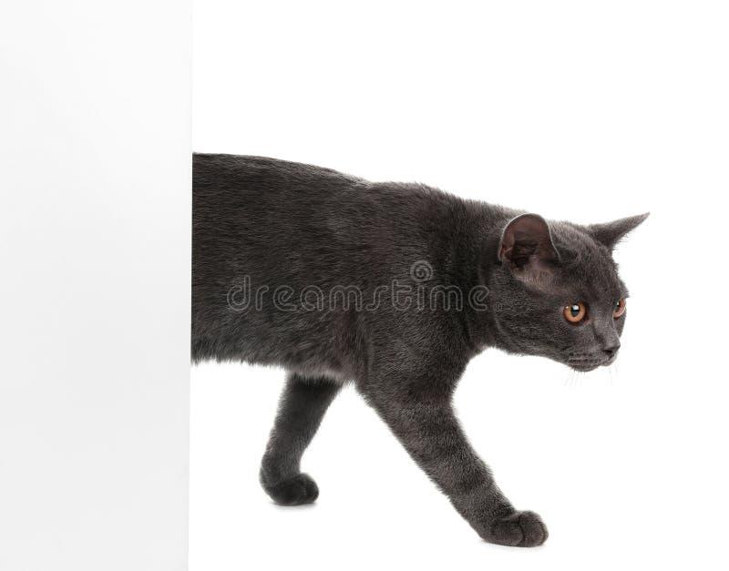 Entzückende graue Britisch Kurzhaar-Katze mit Plakat lizenzfreie stockbilder