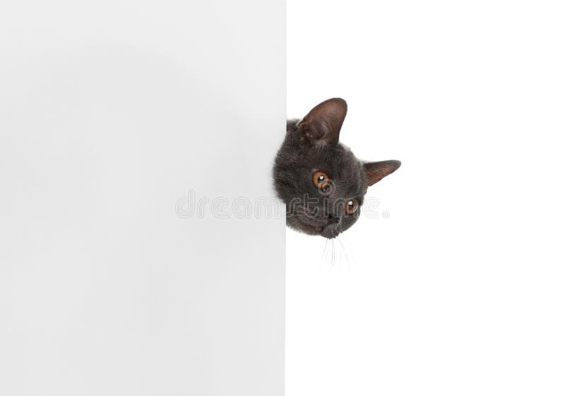 Entzückende graue Britisch Kurzhaar-Katze mit Plakat stockbilder