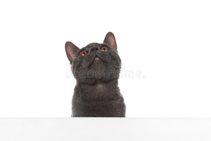 Entzückende graue Britisch Kurzhaar-Katze mit Plakat lizenzfreie stockfotos