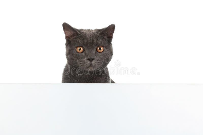 Entzückende graue Britisch Kurzhaar-Katze mit Plakat lizenzfreies stockbild