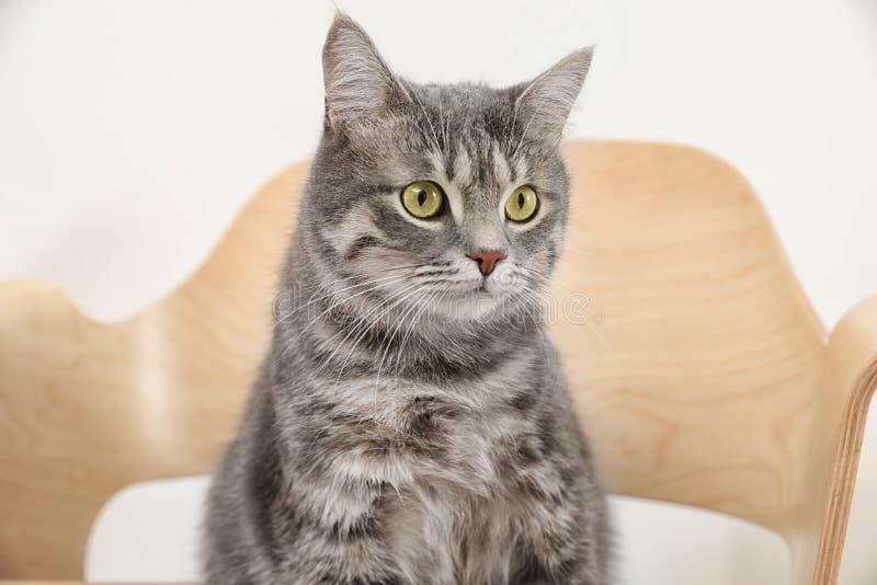 Entzückende graue Katze der getigerten Katze auf Stuhl lizenzfreie stockfotografie