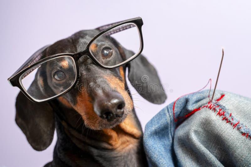 Entzückende Hunderasse des Dachshunds, schwärzen und bräunen, in den Gläsern, verflixte Jeans mit roten Faden mit einer großen Na lizenzfreie stockfotos
