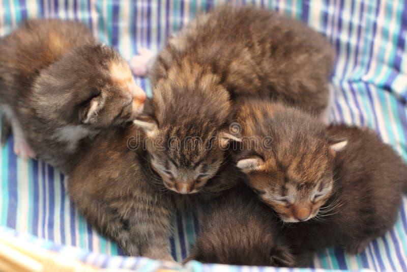 Entzückende Kätzchen sechs Tage alt stockfoto