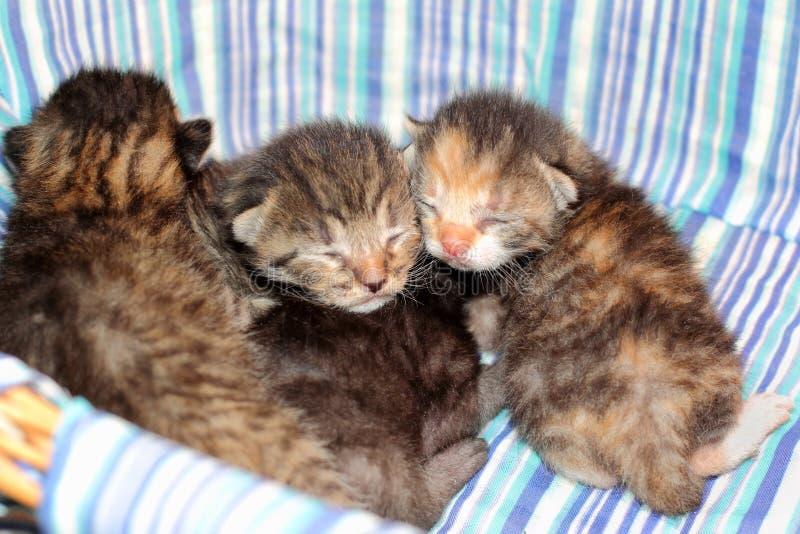 Entzückende Kätzchen sechs Tage alt stockbilder