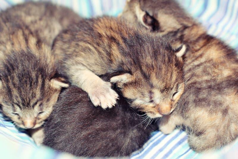 Entzückende Kätzchen sechs Tage alt lizenzfreie stockfotografie