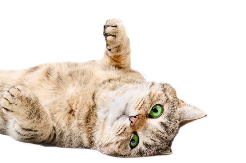 Entzückende Katze schottisches gerades, zurück liegend auf seinem stockbild