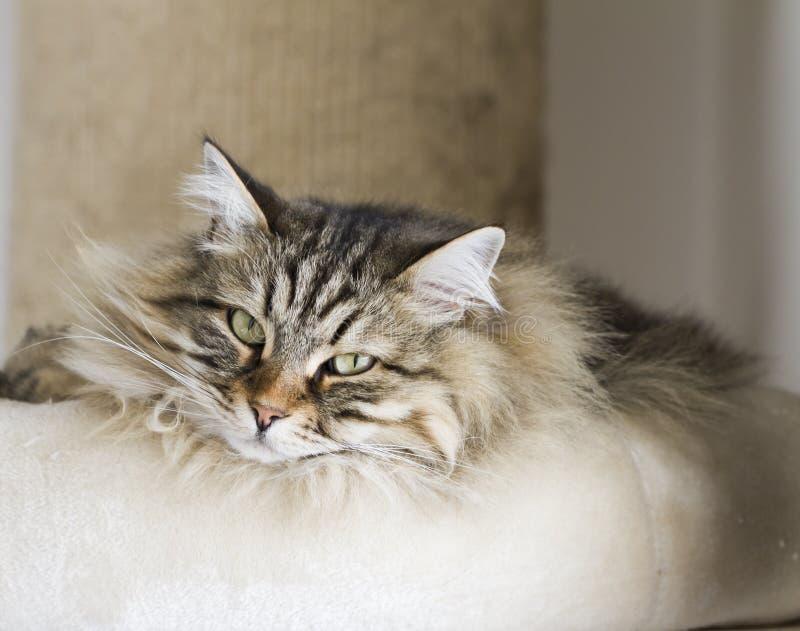 Entzückende Katzen, braune Version der sibirischen Zucht auf dem Verkratzen lizenzfreies stockbild