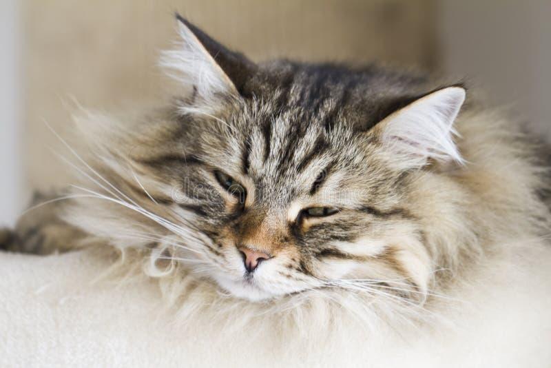 Entzückende Katzen, braune Version der sibirischen Zucht auf dem Verkratzen stockfotografie