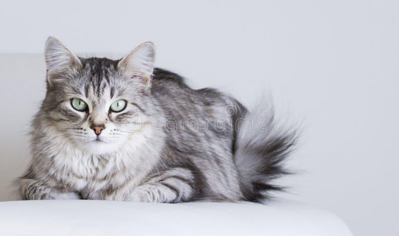 Entzückende Katzen, silberne Version der sibirischen Zucht auf einem weißen Sofa stockbild