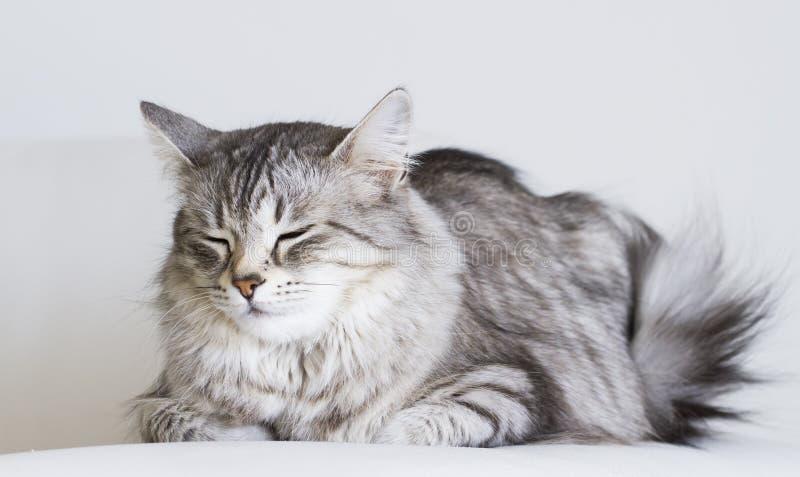 Entzückende Katzen, silberne Version der sibirischen Zucht auf einem weißen Sofa lizenzfreies stockfoto