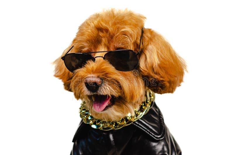 Entzückende lächelnde braune Zwergpudelhundetragende Sonnenbrille, goldene Halskette und Kleiden mit Lederjacke für Reisekonzept stockfoto