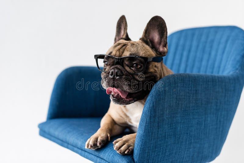 entzückende lustige französische Bulldogge in den Brillen, die auf Stuhl liegen lizenzfreie stockfotos