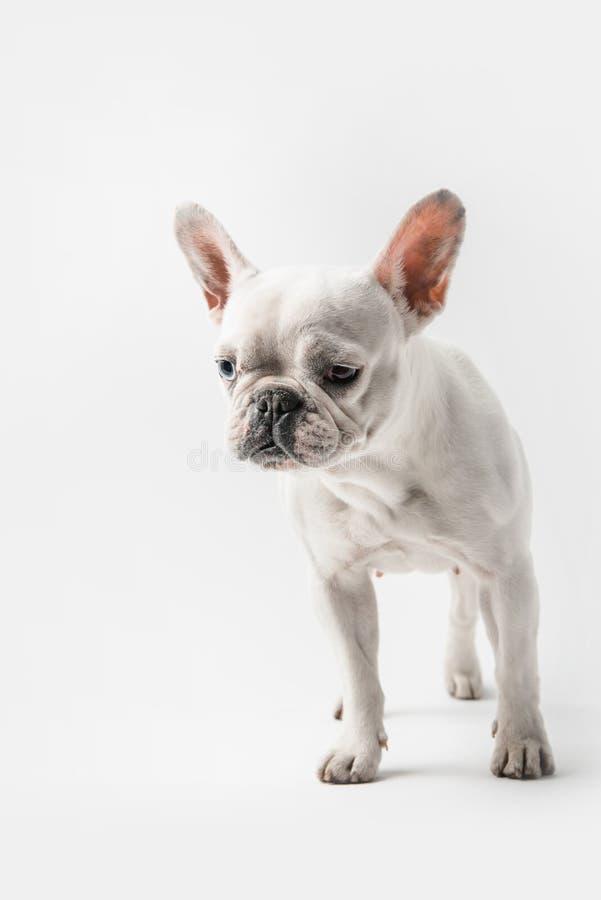 Entzückende lustige Welpenstellung der französischen Bulldogge stockfotografie
