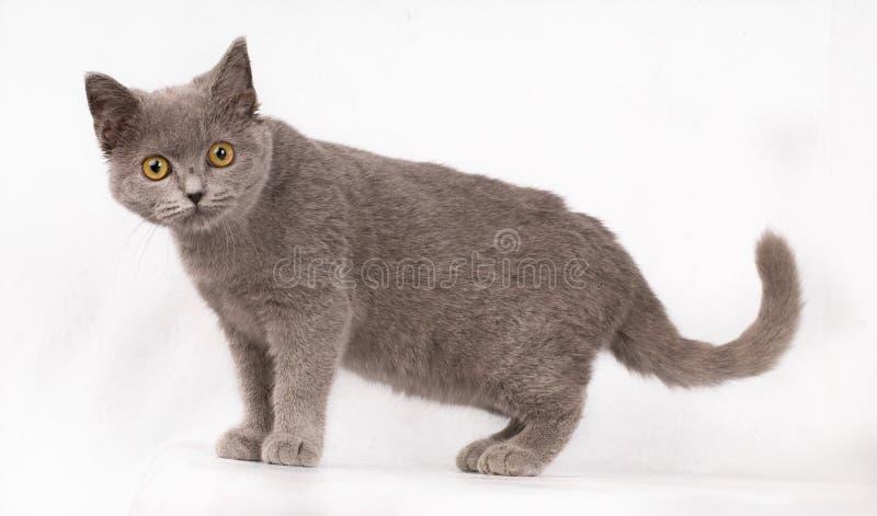 Entzückende nette blaue Katze kurzen Haares Katzenbriten mit den orange Augen, welche die Kamera lokalisiert auf weißem Hintergru stockbilder