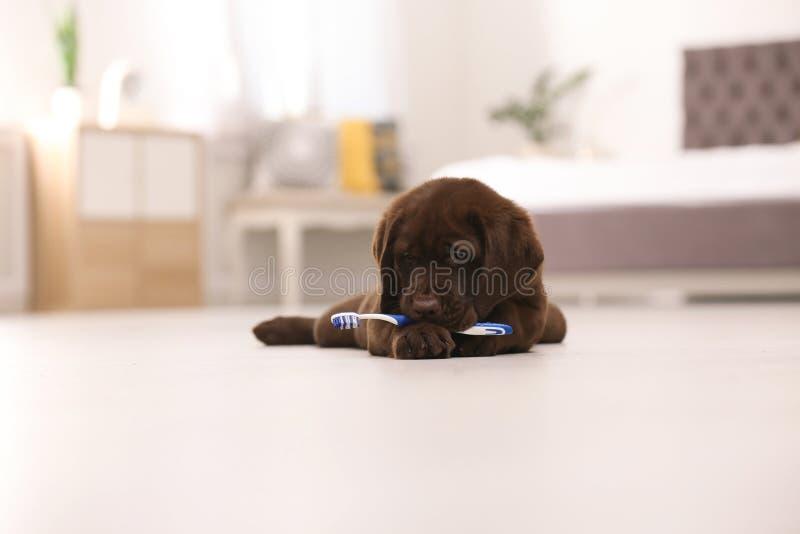 Entzückende Schokolade labrador retriever mit Zahnbürste lizenzfreie stockbilder