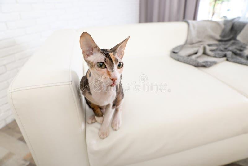 Entzückende Sphynx-Katze auf Sofa zu Hause Nettes freundliches Haustier stockfotos