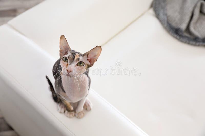 Entzückende Sphynx-Katze auf Sofa zu Hause Nettes freundliches Haustier stockfoto