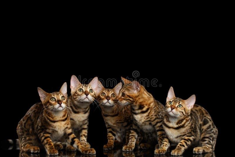 Entzückende Zucht Bengal-Kätzchen lokalisiert auf schwarzem Hintergrund lizenzfreie stockfotografie