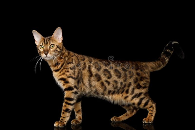 Entzückende Zucht Bengal-Katze lokalisiert auf schwarzem Hintergrund lizenzfreies stockbild