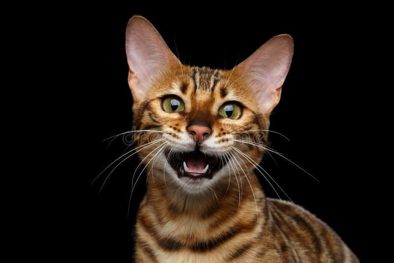 Entzückende Zucht Bengal-Katze lokalisiert auf schwarzem Hintergrund lizenzfreie stockfotos