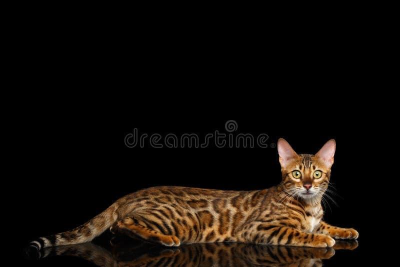 Entzückende Zucht Bengal-Katze lokalisiert auf schwarzem Hintergrund lizenzfreie stockfotografie