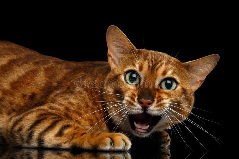 Entzückende Zucht Bengal-Katze lokalisiert auf schwarzem Hintergrund lizenzfreies stockfoto