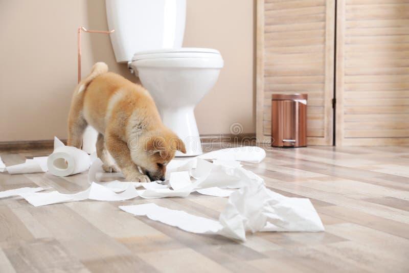 Entzückender Akita Inu-Welpe, der zu Hause mit Toilettenpapier spielt lizenzfreies stockbild