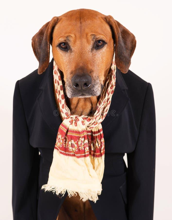 Entzückender alter Hund Rhodesian Ridgeback im schwarzen Anzug lizenzfreies stockbild