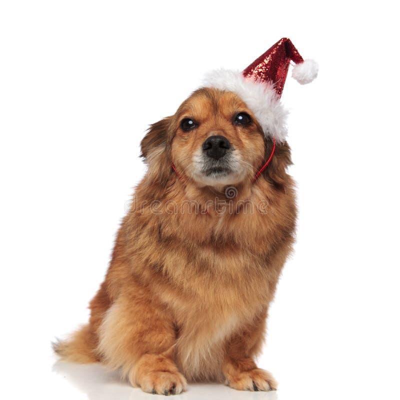 Entzückender brauner Sitzhund mit Sankt-Kappe bereit zum Weihnachten stockfotos
