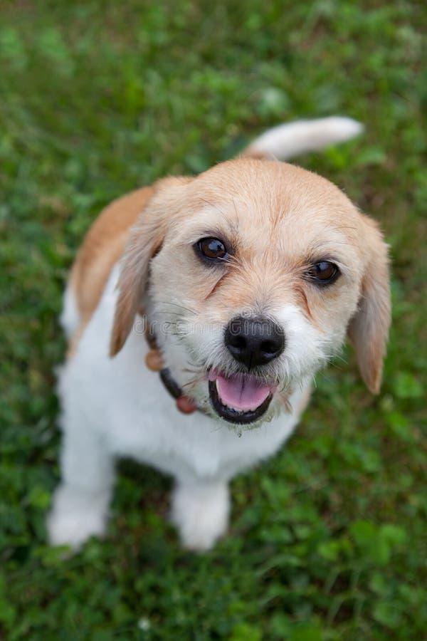 Entzückender brauner weißer Hund stockfotografie