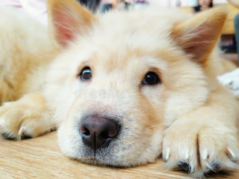 Entzückender Chow Chow Puppy lizenzfreies stockfoto