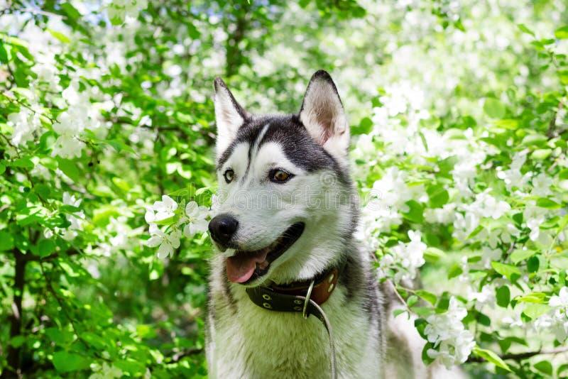Entzückender grauer und weißer heiserer Hund in einem Garten mit weißen Blumen der Blüte des Apfelbaums stockbild