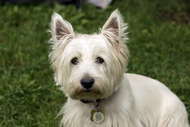 Entzückender Hund, West Highland White Terrier lizenzfreie stockbilder