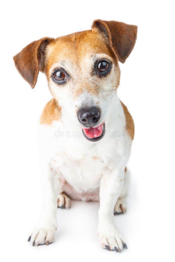 Entzückender kleiner Hund-Jack Russell-Terrier stockbild