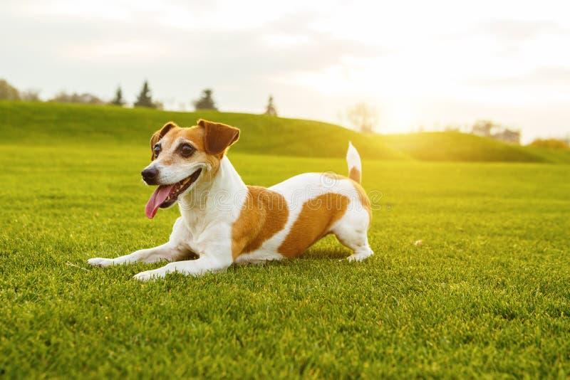 Entzückender kleiner Hund-Jack Russell-Terrier stockfoto