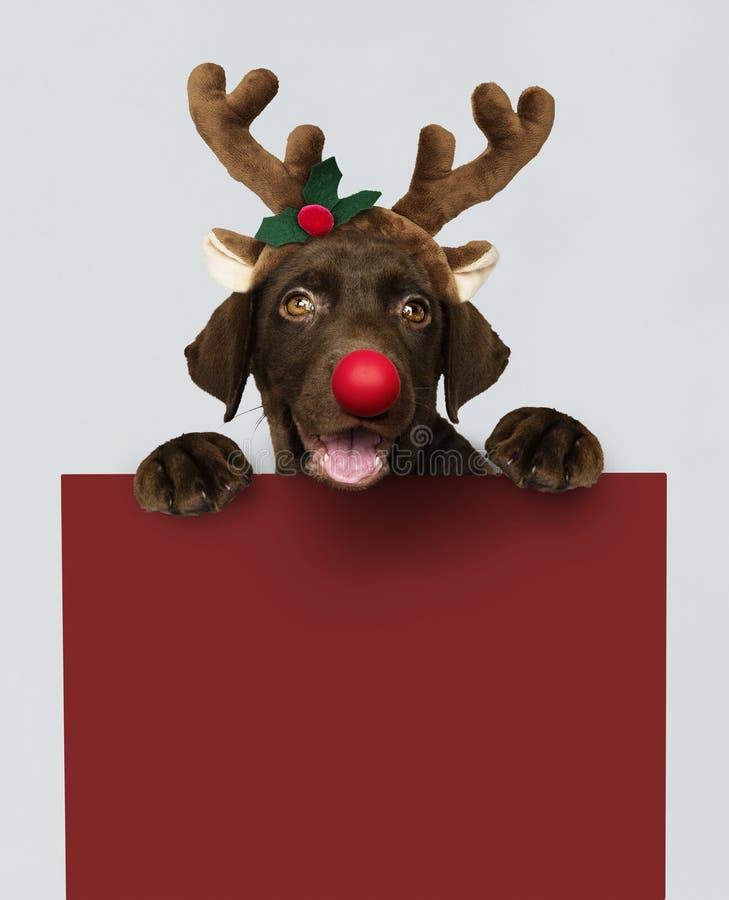 Entzückender Labrador retriever-Welpe, der ein Weihnachtsrenstirnband hält ein rotes Brettmodell trägt stockbild