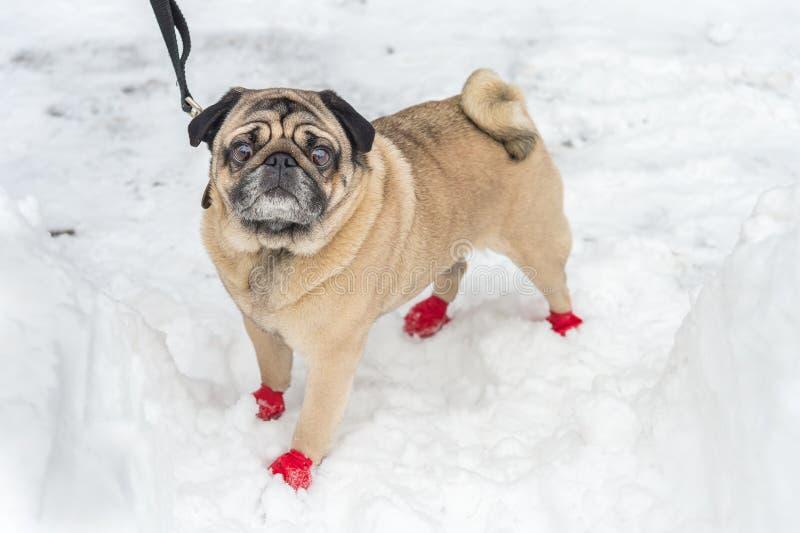 Entzückender Pug, der rote Stiefel trägt stockfotos