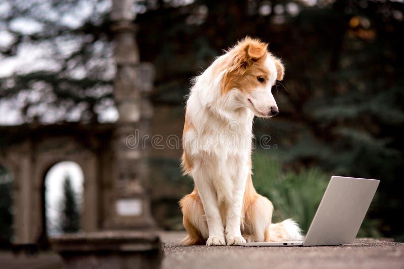 Entzückender roter Hund border collie, das auf Geländer sitzt und Laptop mit Glückgesicht spielt lizenzfreies stockfoto