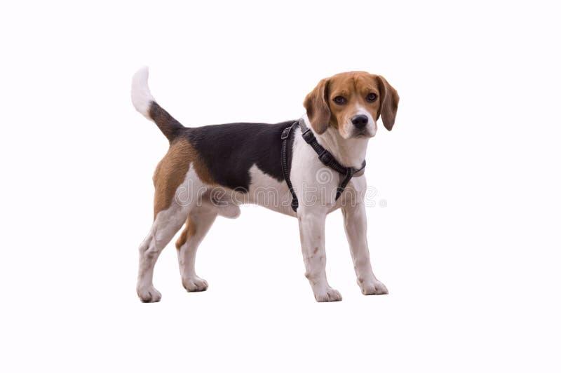 Entzückender Spürhund lizenzfreie stockfotos