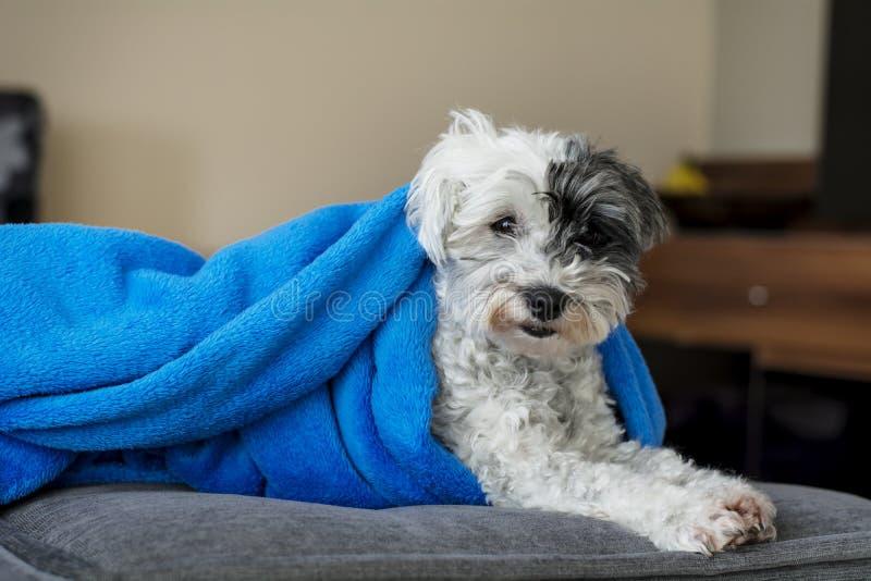 entzückender weißer Hund ganz eingewickelt oben in einer blauen Decke stockfoto