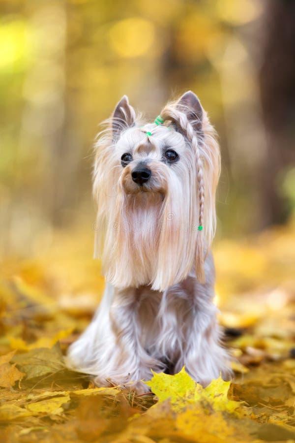 Entzückender Yorkshire-Terrierhund, der im Herbst aufwirft stockfoto