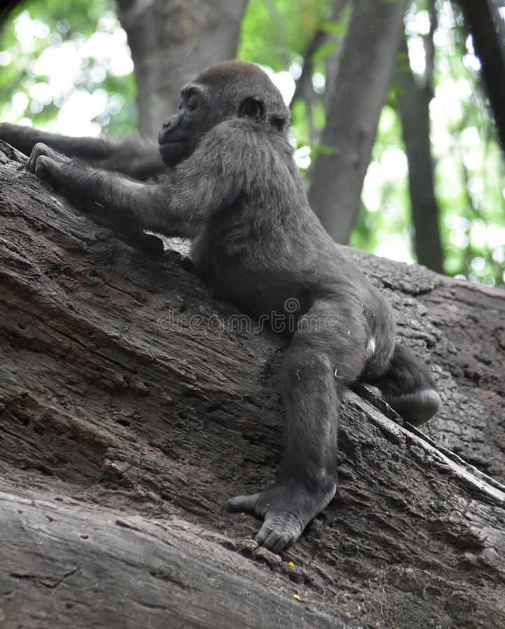 Entzückendes Baby Gorilla Playing in den Bäumen stockfoto
