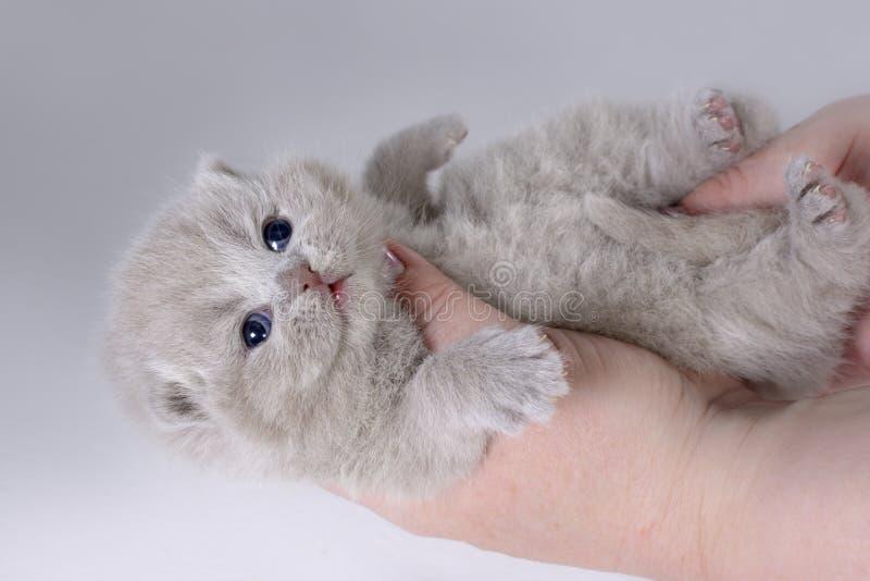 Entzückendes britisches Kätzchen, das auf den Händen der Frauen liegt Alter zwei Wochen lizenzfreies stockbild